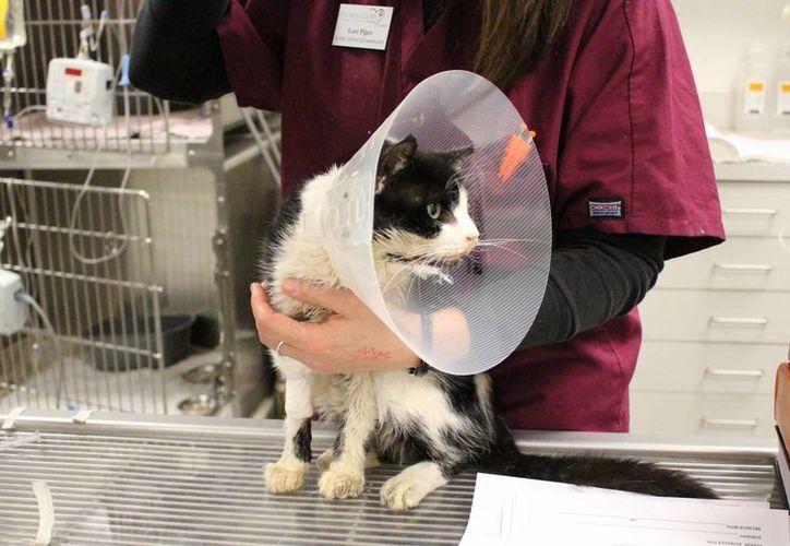 El gato Bart, al que ya le fue extirpado un ojo y reparada la quijada, se recuperará en unas semanas. (AP)