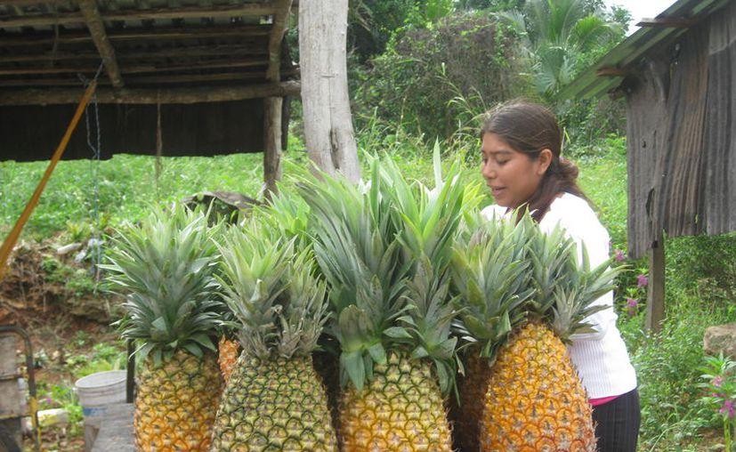 Buscan apoyar a productores interesados por incursionar en la producción de piña y quienes apenas inician la actividad. (Javier Ortiz/SIPSE)