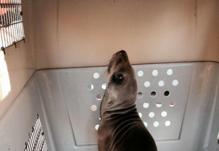 Imagen proporcionada por el Servicio de Parques Nacionales de un león marino en el Centro de Mamíferos Marinos en Sausalito, California. (Agencias)