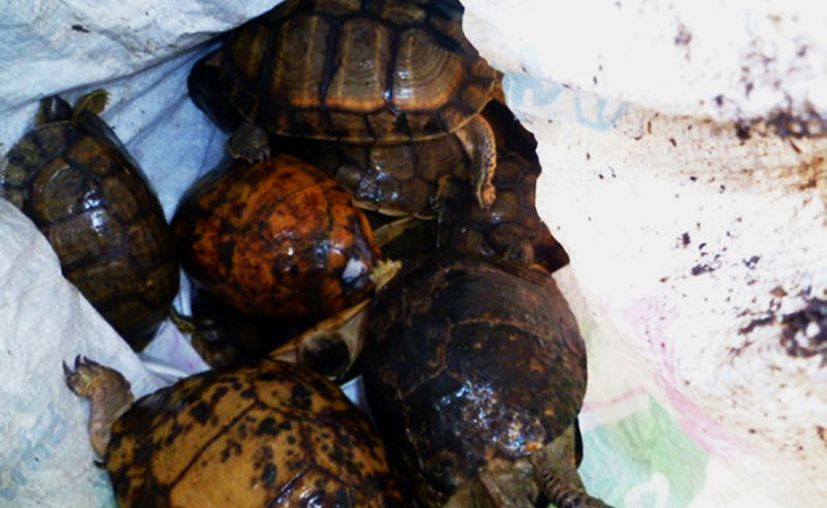 Las tortuguitas se encontraban en  un costal de rafia visiblemente maltratadas. (Milenio Novedades)