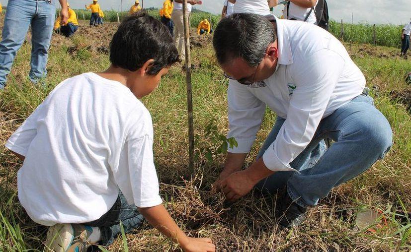 Para la reforestación se contemplan 625 árboles por hectárea y se usan las especies de caoba, cedro, ciricote y ramón. (Edgardo Rodríguez/SIPSE)