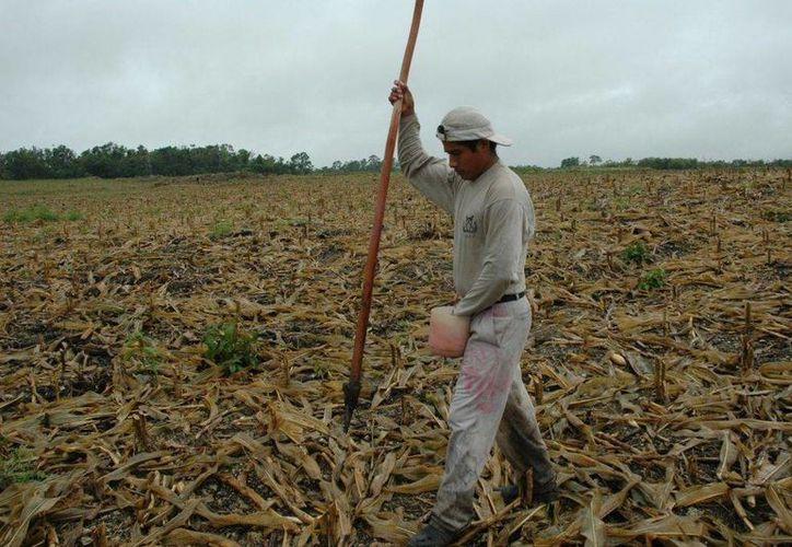 La situación económica que se vive en el campo lleva a los ciudadanos a cometer actos ilícitos. (Harold Alcocer/SIPSE)