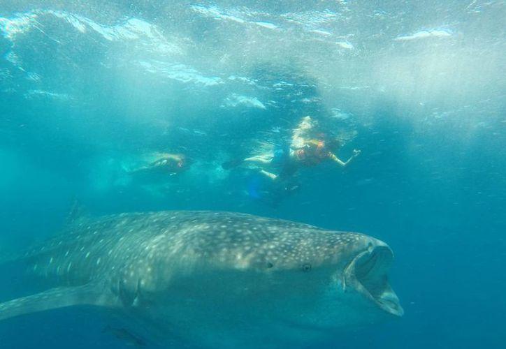 El nado con el tiburón ballena y con el tiburón toro son importantes atractivos turísticos para el  destino. (Tomás Álvarez/SIPSE)