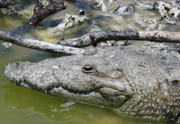El pescador Jesús Arbea logró sobrevivir a las mordidas del cocodrilo, pero falleció en un hospital. (SIPSE/Foto de contexto)