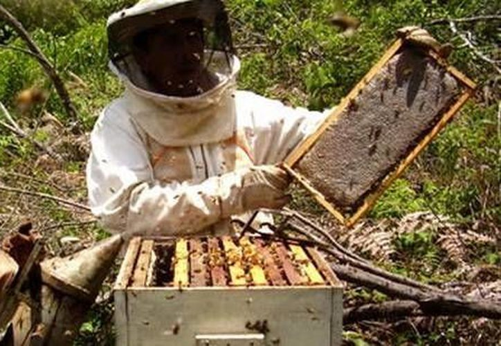 La apicultura sería una de las más afectadas con los planes de Monsanto en Yucatán. (SIPSE)