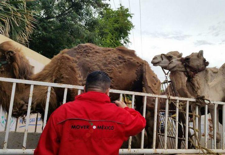 Hace unos días fueron rescatados varios ejemplares que fueron abandonados presuntamente por el circo Atayde en un predio en Yucatán. (Archivo/Notimex)