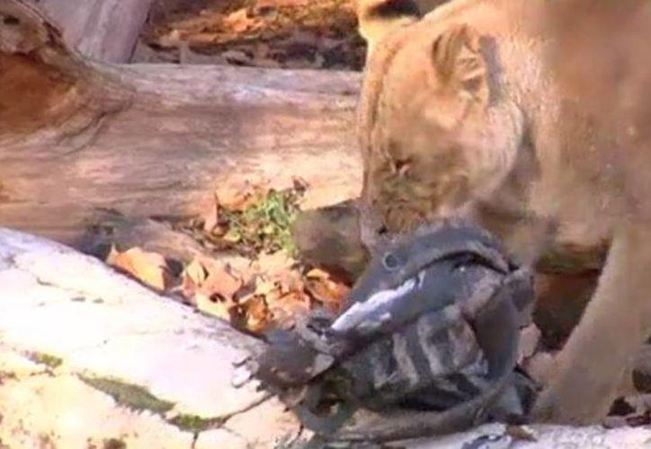 Los leones atacaron al hombre y lo arrastraron a un túnel de servicio. Imagen de uno de los leones con la mochila de la víctima entre sus fauces. (20minutos.es)