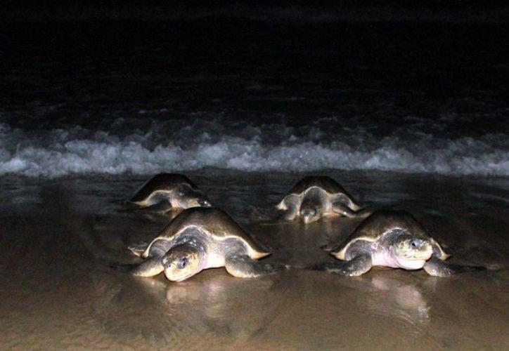 Imagen del 19 de agosto de 2016 del arribo de tortugas Golfina en playa Morro Ayuta, Oaxaca, donde la Profepa mantiene un operativo de protección a la especie. (Archivo/Notimex)