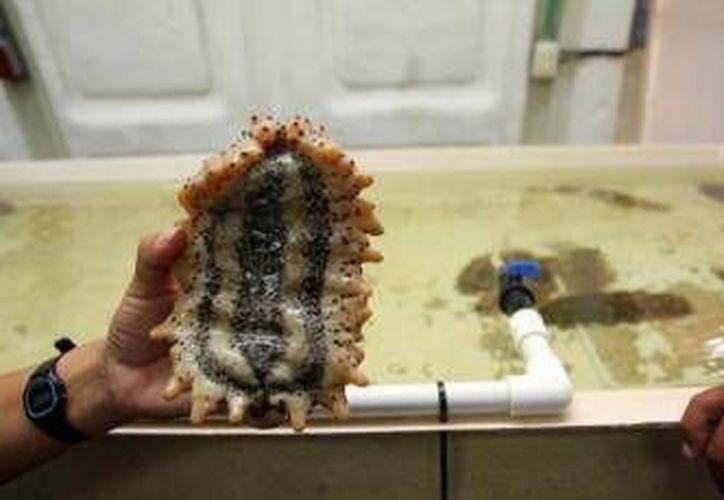 El pepino de mar está en veda permanente en la Península de Yucatán. (Archivo/SIPSE)