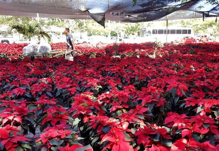 La flor de Nochebuena no puede ser cultivada en Quintana Roo. (Jesús Tijerina/SIPSE).