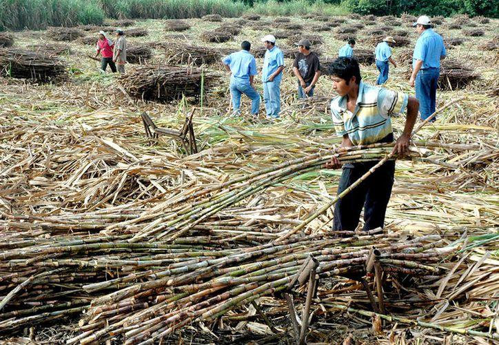 156 mil 451 toneledas de azúcar se proyectaban en Quintana Roo, pero apenas llevan 128 mil 525. (Foto: Juan Rodríguez / SIPSE)