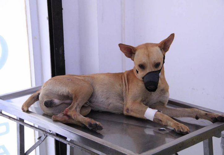 Dingo fue trasladado a las instalaciones de Protección Animal. (Tomás Álvarez/SIPSE)