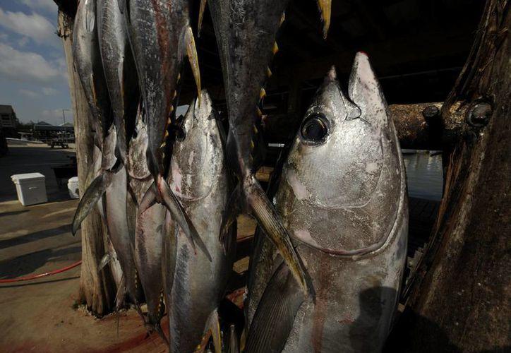 Los residuos de petróleo impiden a los corazones de los atunes latir de manera adecuada. (EFE)
