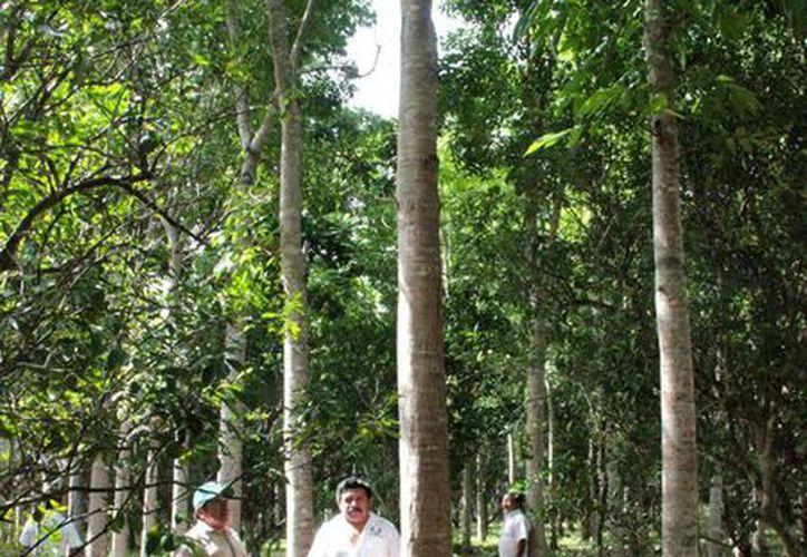 Los cortes que realizarán los productores forestales son de las primeras plantaciones de cedro y caoba. (Foto: Tony Blanco / SIPSE)