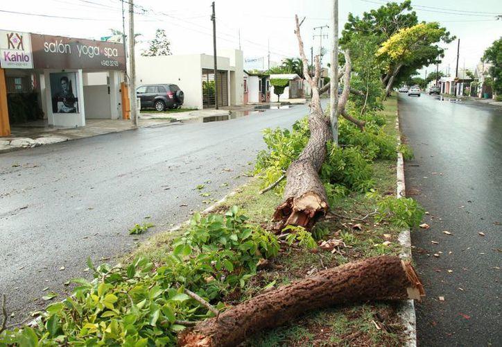 La tormenta dejó árboles caídos en la capital yucateca. (Jorge Acosta/ Milenio Novedades)