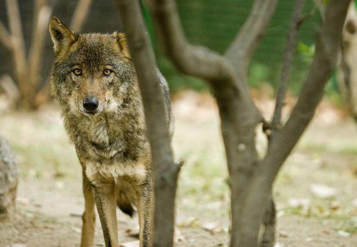 """Estudiosos afirman que """"probablemente los perros hayan sido domesticados a partir de un linaje de lobo que ya no existe en el presente"""". (EFE)"""