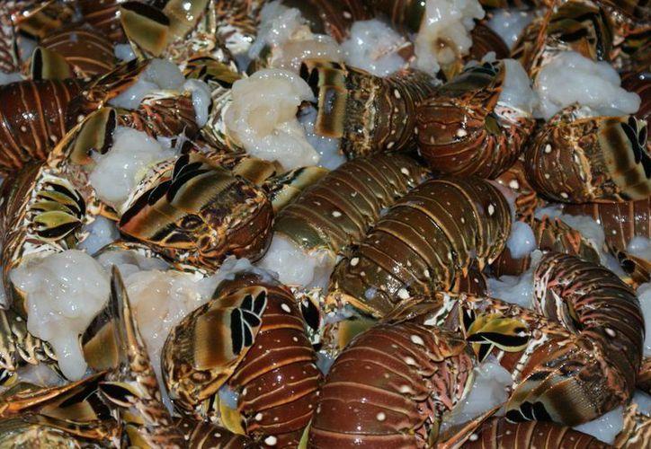 La langosta es una de las principales pesquerías de Yucatán. (Cortesía)