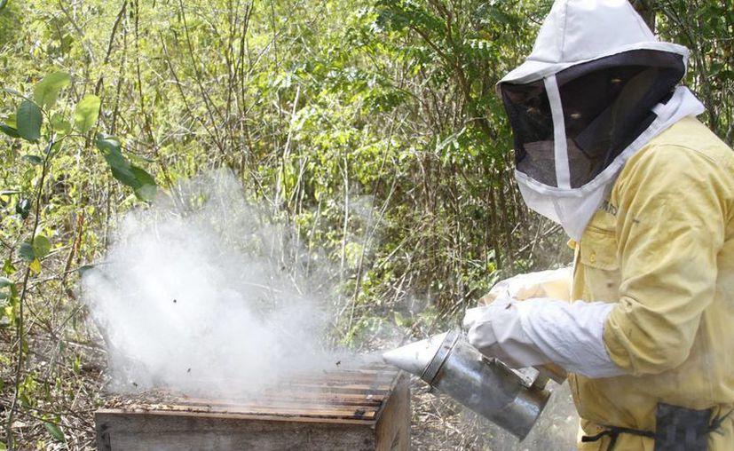 El apicultor Martín Dzib dijo que el humo ayuda a calmar la furia del colmenar. (Sergio Orozco/SIPSE)