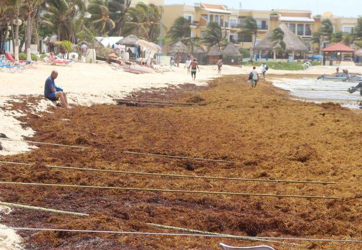 Las buenas proyecciones para el verano se ven opacadas por el sargazo que cubre parte de los arenales de la Riviera Maya. (Adrián Barreto/SIPSE)