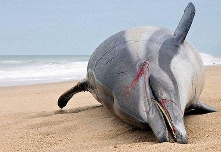 Por el avanzado estado de descomposición de los delfines no se ha podido confirmar si el morbillivirus ha sido la causa de la muerte. (actualidad.rt.com)