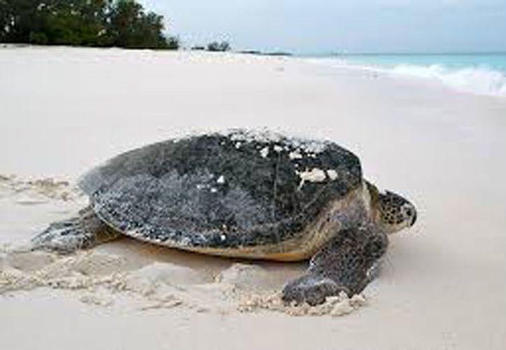 Tortugas gigantes que ya se habían extinguido, fueron criadas y liberadas en las islas Galápagos. (diario.mx)