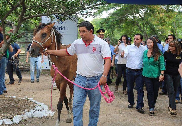 Un caballo que era maltratado por un tierrero fue rescatado y será usado en el Yucatán Polo Club para que niños aprendan a montar.  (Foto cortesía del Ayuntamiento de Mérida)