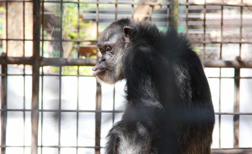 A su edad, la mona 'Susy' ya se encuentra en la etapa de vejez de su especie. (Cortesía)