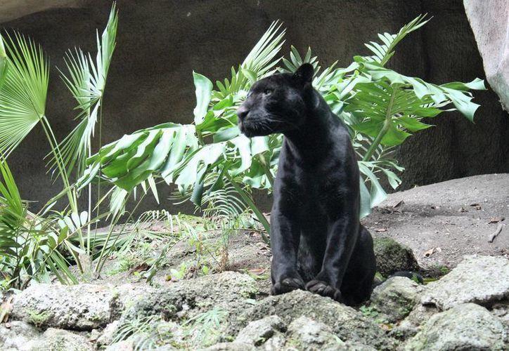 La pantera negra puede llegar a medir un metro diez o un metro ochenta. (Carlos Horta/SIPSE)