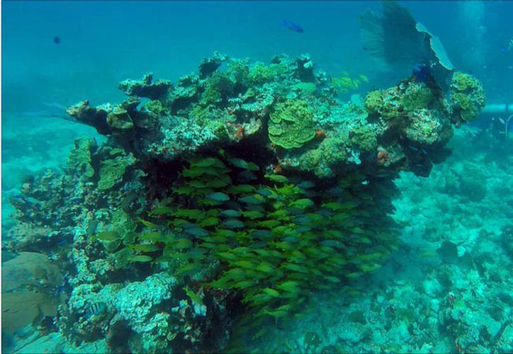 Dan a conocer el estado de salud del arrecife de Quintana Roo. (Paola Chiomante/SIPSE)