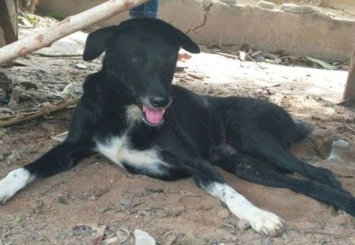 Ping Pong, el perro héroe, tiene seis años de edad y tras un accidente que sufrió hace unos años sólo puede usar tres de sus piernas. (Internet)
