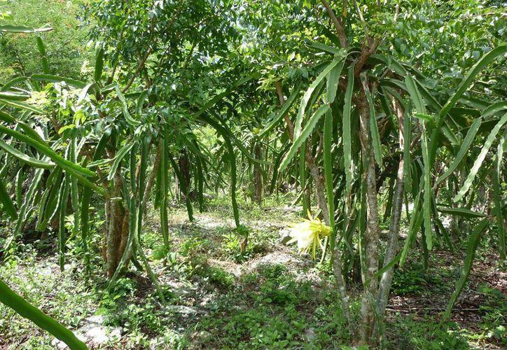 El cultivo de la pitahaya es realizada de manera casera en las comunidades mayas de Quintana Roo. (Gerardo Amaro/SIPSE)