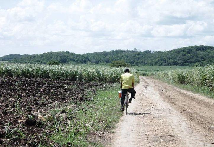 Los productores cañeros son capacitados para detectar las varas dulces que tiene la plaga. (Edgardo Rodríguez/SIPSE)