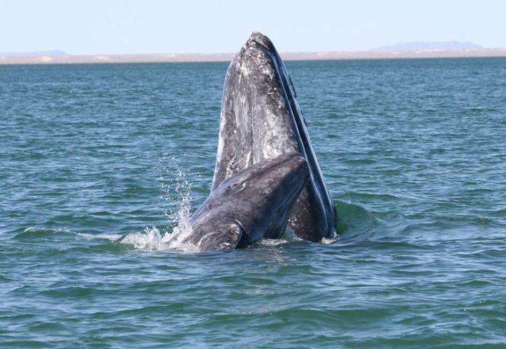 En la laguna Ojo de Liebre se han contabilizado 499 ballenatos y 680 ballenas adultas. (lsiecosystem.org)