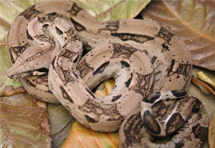 La boa constrictor es una serpiente tropical no venenosa de gran tamaño y de cabeza es triangular. (SIPSE/Archivo)