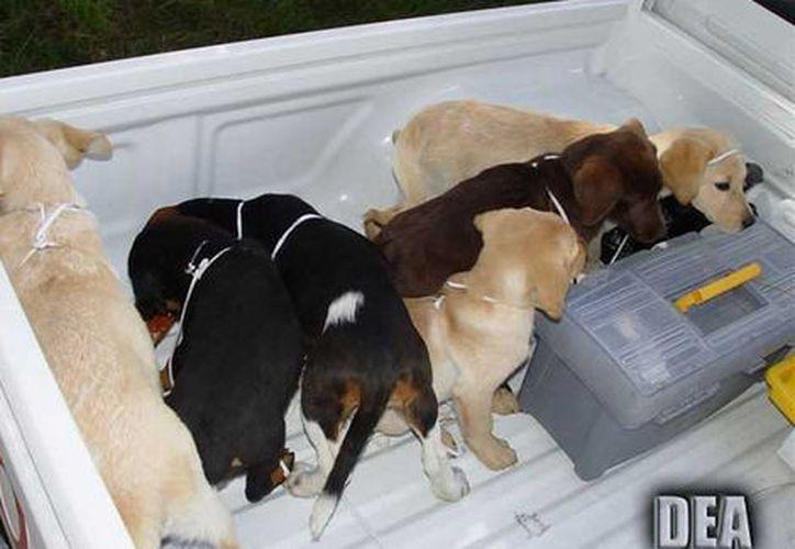 El veterinario Andrés López Elorza usó a los cachorros para contrabandear paquetes de heroína líquida. (Foto: AP)