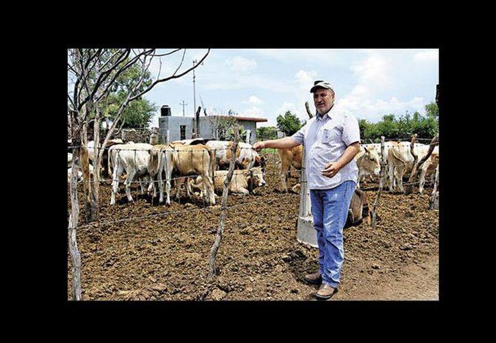 Víctor Manuel Ponce Ríos con el ganado que pudieron rescatar y que ahora planean exportar. (Milenio)