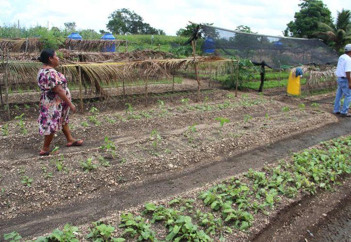Aún no tienen afectaciones graves, pero las hortalizas son de traspatio, no de ambiente controlado. (Carlos Castillo/SIPSE)