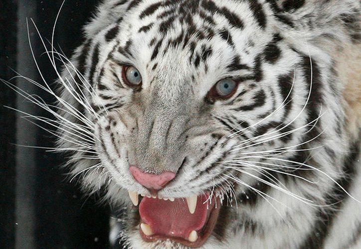 El cuidador tenía una semana de haber entrado a trabajar al zoológico. (RT)