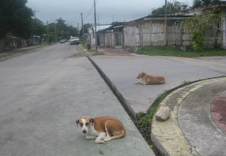 Se calculan 25 mil perros en la cabecera municipal de Bacalar. (Javier Ortiz/SIPSE)