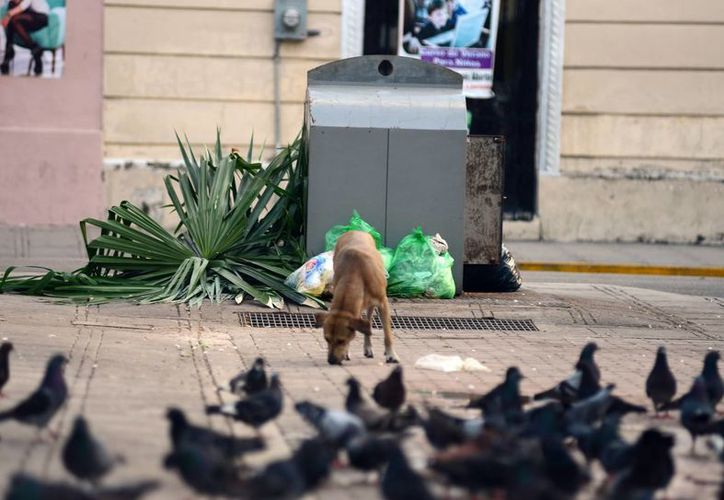 En Mérida deambulan miles de perros callejeros. (Luis Pérez/SIPSE)