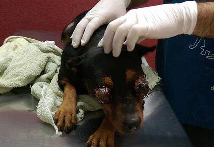 El can fue severamente lastimado en los ojos, por lo que no pudo resistir el dolor. (Facebook/ Connie Sosa)