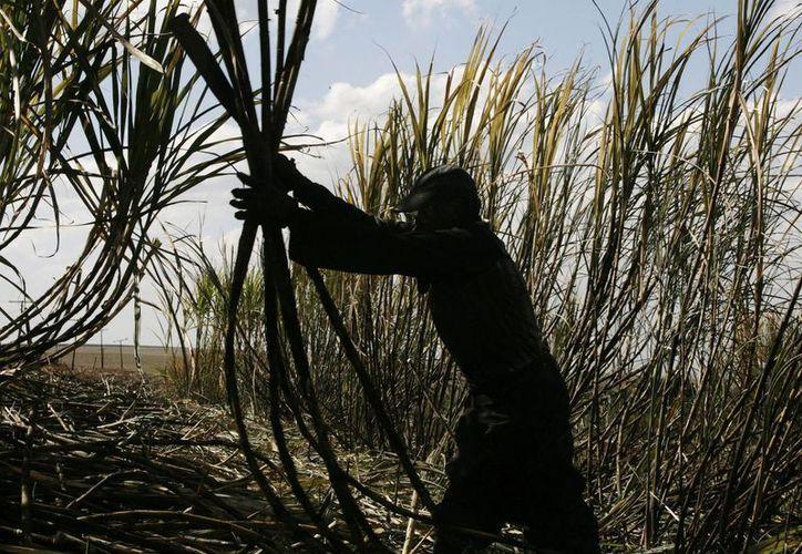 Las actividades primarias se elevaron 11.8 por ciento a tasa anual, derivado del avance registrado, principalmente, en la agricultura, como fue el caso de la caña de azúcar. (Foto de contexto/AP)