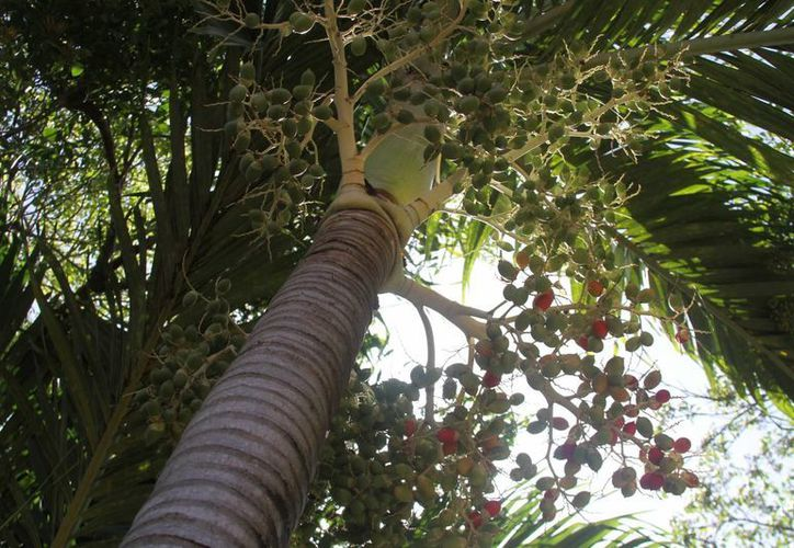 Especies como la palma de aceite, maderas tropicales son las que se busca desarrollar en Quintana Roo. (Yesenia Barradas/SIPSE)