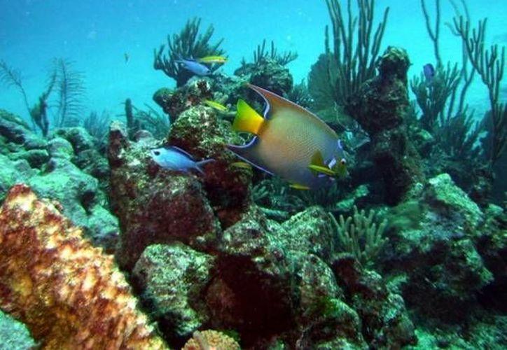 El Caribe mexicano posee la mayor variedad de corales. (Archivo/SIPSE)