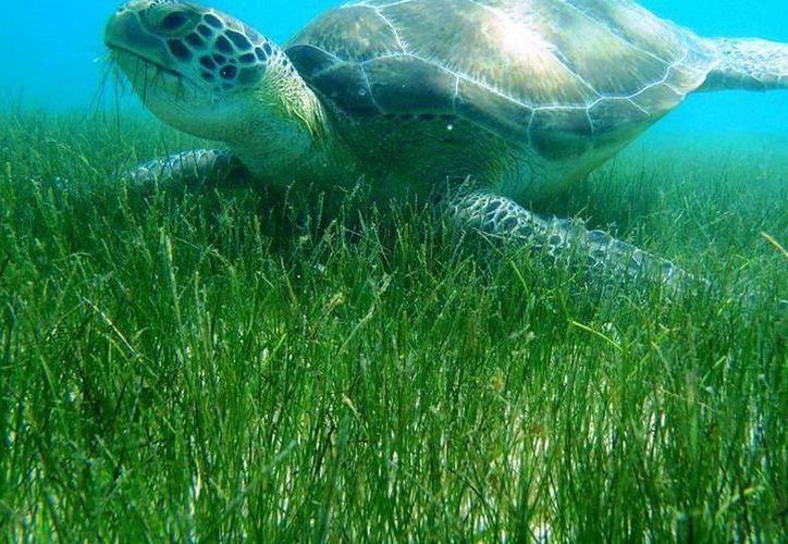 La Procuraduría Federal de Protección al Ambiente (Profepa)  certificó 6 barcos camaroneros de arrastre con 36 Dispositivos Excluidores de Tortugas Marinas. (Archivo/SIPSE).