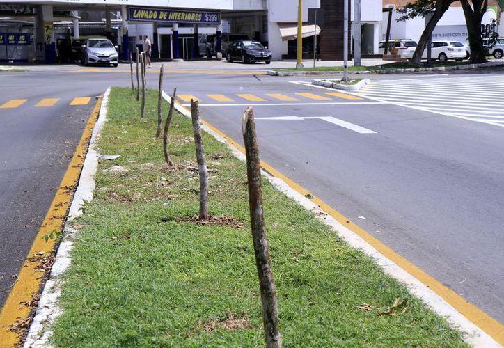 Al ser atendidas a tiempo y al no ser cortadas desde la raíz, los 16 árboles de la avenida Líbano pueden florecer de nueva cuenta. (Foto: Milenio Novedades)
