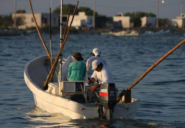 El Gobierno de Yucatán busca, con la generación de granjas acuícolas, reducir la presión a la pesca de pulpo (imagen) y mero. (SIPSE.com)