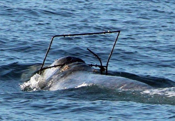 La ballena, al parecer, está atorada en un arco de metal. (Foto: Agencia)