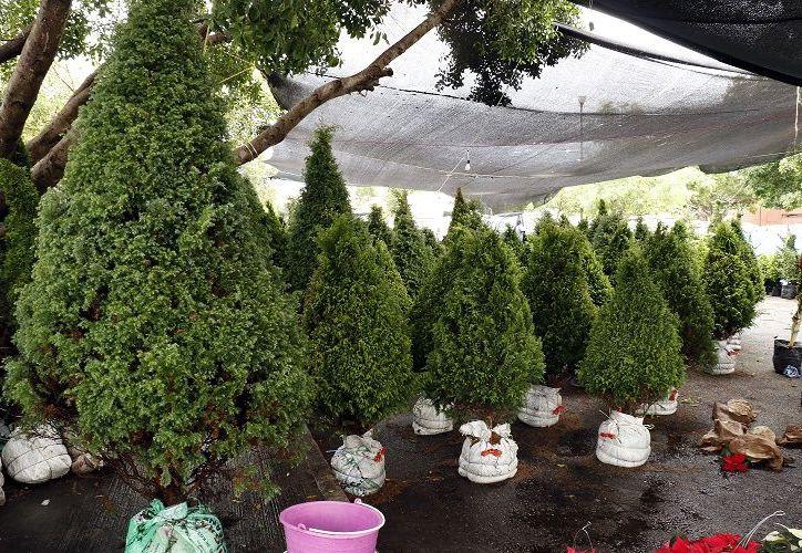 Una amplia variedad de tamaños de árboles se ofrecen en Mérida. (Foto: Milenio Novedades)