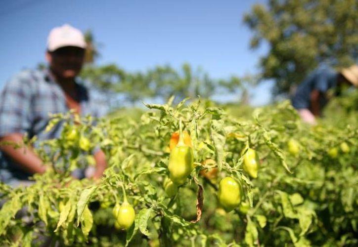 Más de 100 millones de pesos podrían retirarse del presupuesto para el campo de Quintana Roo. (Archivo/SIPSE)